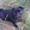 СРОЧНО! ищем мальчика мопса для вязки с девочкой мопс 1 год #519258