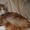мейн кун котята #1200101