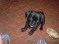 продам двухмесячного щенка мопса чёрной окраски.
