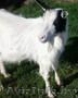 Дойные козы ,  молодые ПОКРЫТЫЕ.  МОЛОЧНЫЕ.